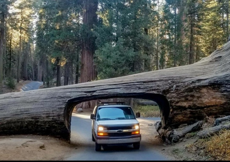 Chevy Express campervan driving under the tunnel tree at Sequoia National Park